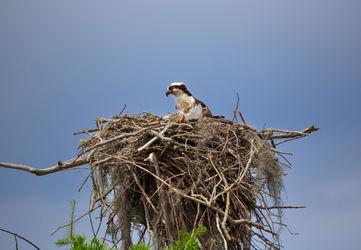 Osprey-female0068