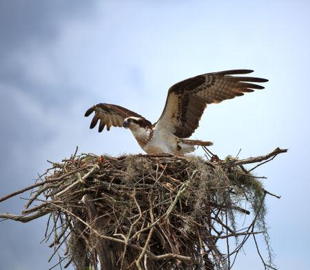 Osprey-female0070