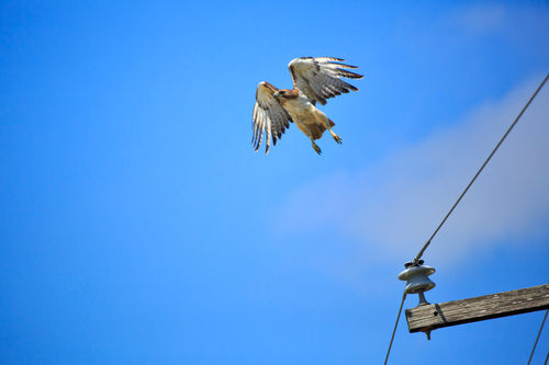 Red-tailed-hawk0123