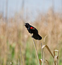 Red-winged Blackbird Singing by Louise Heusinkveld
