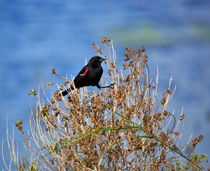 Red-winged Blackbird von Louise Heusinkveld
