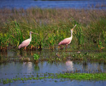 Roseate Spoonbills by Louise Heusinkveld