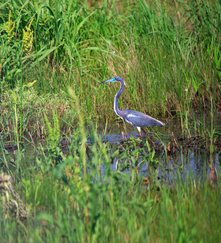 Tricolored-heron0101