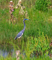 Tricolored-heron0103