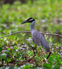 Yellow-crowned Night Heron by Louise Heusinkveld