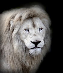 White Lion -2- by Christine  Hofmann