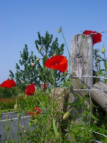 Barbed wire poppies by Renata Davies