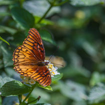 colourful orange butterfly  von Craig Lapsley