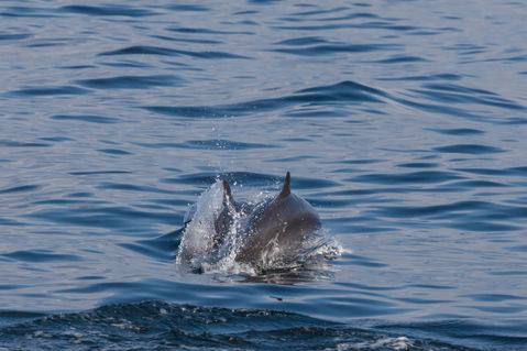 6675-c-two-dolphins-playing