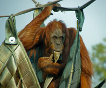 The Thinking Orang Utan von Renata Davies