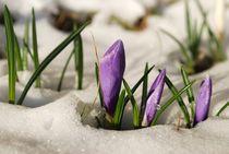 Krokusse im Schnee by tinadefortunata