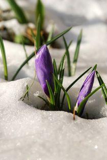 Krokusse im Schnee von tinadefortunata