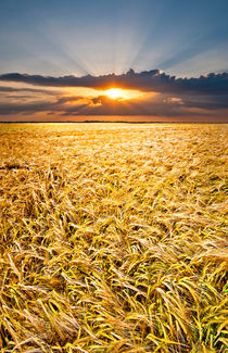 barley at sunset vertical by meirion matthias