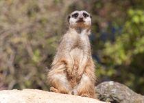 Meerkat by John Biggadike