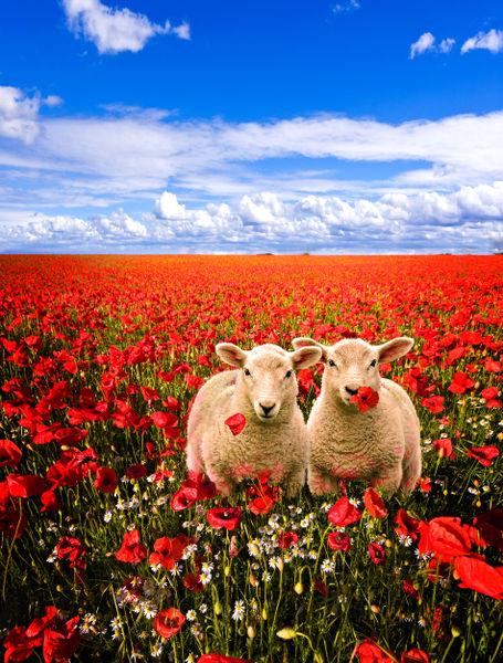 Poppy-field-and-lambs