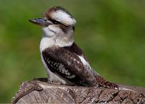 Kookaburra by John Biggadike