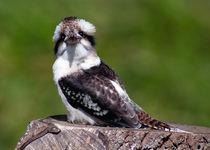 Kookaburra 2 by John Biggadike