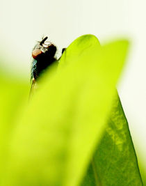 The Fly by Renata Davies