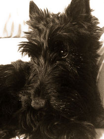 Callie, the Scottish Terrier by Renata Davies