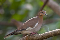 White tipped dove by Craig Lapsley