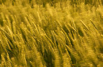 windblown wheat by meirion matthias