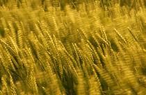 windblown wheat von meirion matthias