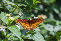 colourful orange butterfly  by Craig Lapsley