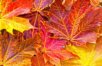 Maple the king of autumn by meirion matthias