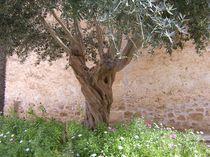 Olivenbaum von Tina M. Emig