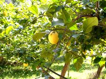 Zitronenbaum von Tina M. Emig