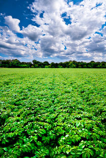 regimented potato field by meirion matthias
