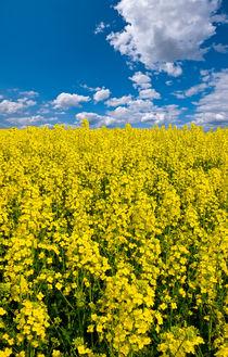 bright yellow rapeseed field von meirion matthias