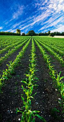 field of young corn von meirion matthias
