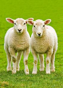 curious twin lambs by meirion matthias