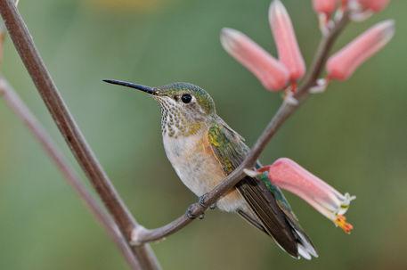 Bihu-0293-broad-tailed-hummingbird-selasphorus-platycercus