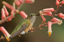 Bihu-0645-broad-tailed-hummingbird-selasphorus-platycercus