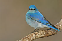Mountain Bluebird von Barbara Magnuson & Larry Kimball