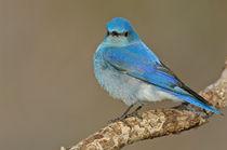 Bitk-0191-mountain-bluebird-sialia-currucoides