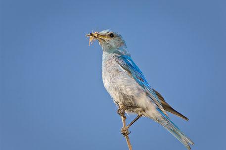 Bitk-0284-mountain-bluebird-sialia-currucoides