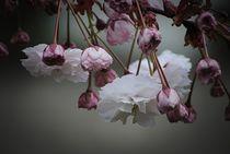 Zierapfel Blüte von Elke Balzen
