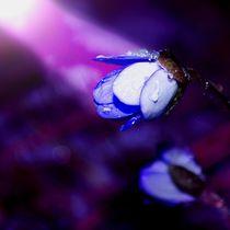 Leberblümchen
