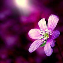 violettes Leberblümchen by tinadefortunata