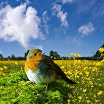european robin by meirion matthias