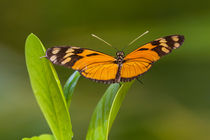 orange and black butterfly by Craig Lapsley
