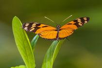 1153-orange-butterfly