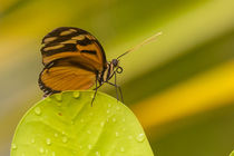 orange butterfly profile by Craig Lapsley