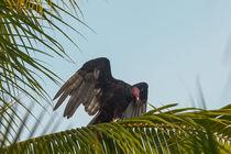 Turkey Vulture by Craig Lapsley