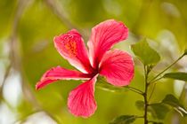 Pink Hibiscus flower by Craig Lapsley