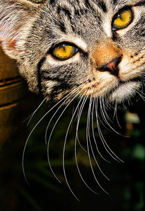 whisker WOW by meirion matthias