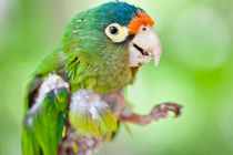 baby parrot von Craig Lapsley